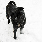 Black Pug Playing in the Snow